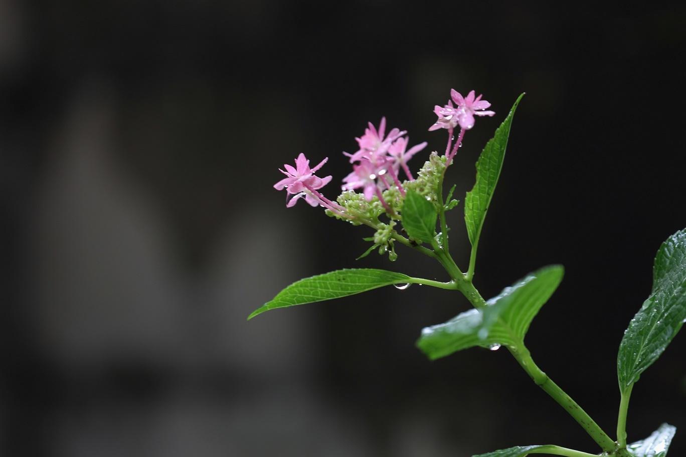 雨の日     <   庭の花たち   >_a0140000_11175431.jpg
