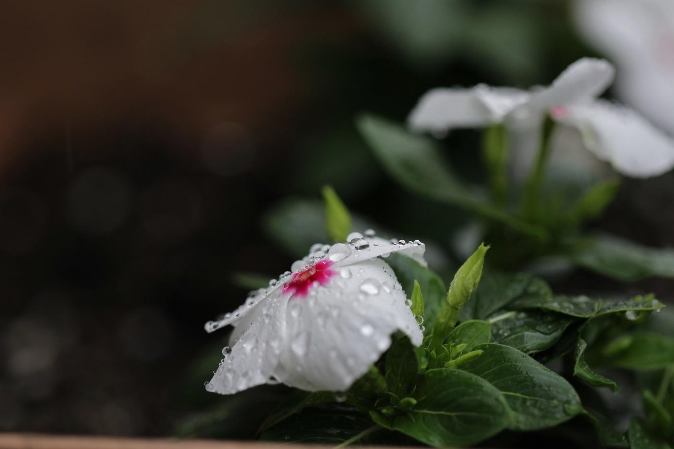 雨の日     <   庭の花たち   >_a0140000_11185408.jpg