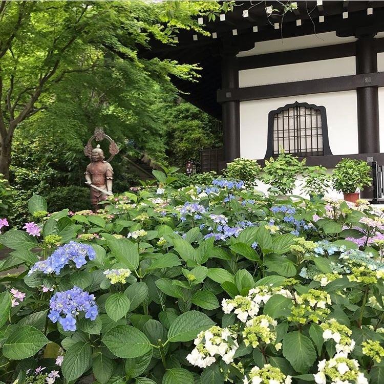 長谷寺の紫陽花_a0233202_17463693.jpeg