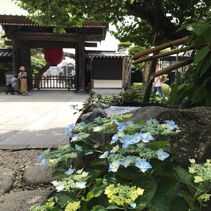 長谷寺の紫陽花_a0233202_17470168.jpeg