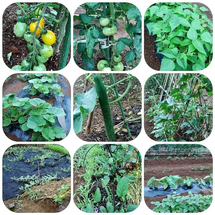 ■Myファーム便り【梅雨に入り合間の作業になってますが 作物は皆元気に育っています♪】_b0033423_21173720.jpg