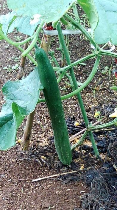 ■Myファーム便り【梅雨に入り合間の作業になってますが 作物は皆元気に育っています♪】_b0033423_21233520.jpg