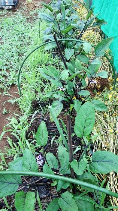 ■Myファーム便り【梅雨に入り合間の作業になってますが 作物は皆元気に育っています♪】_b0033423_21411068.jpg
