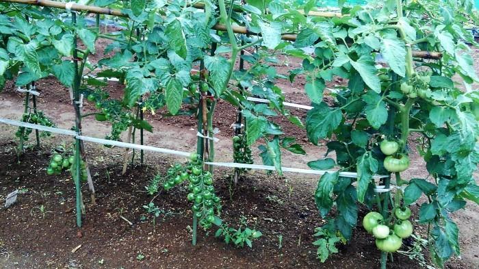 ■Myファーム便り【梅雨に入り合間の作業になってますが 作物は皆元気に育っています♪】_b0033423_21502659.jpg