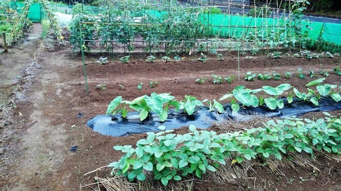 ■Myファーム便り【梅雨に入り合間の作業になってますが 作物は皆元気に育っています♪】_b0033423_21595576.jpg