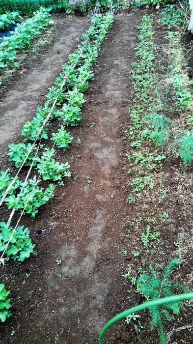 ■Myファーム便り【梅雨に入り合間の作業になってますが 作物は皆元気に育っています♪】_b0033423_22123403.jpg