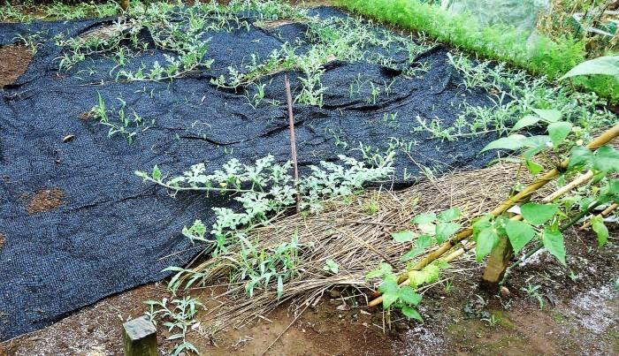 ■Myファーム便り【梅雨に入り合間の作業になってますが 作物は皆元気に育っています♪】_b0033423_22200048.jpg