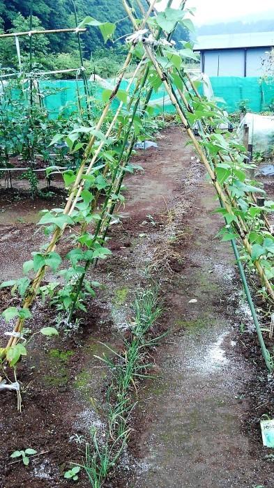 ■Myファーム便り【梅雨に入り合間の作業になってますが 作物は皆元気に育っています♪】_b0033423_22241932.jpg