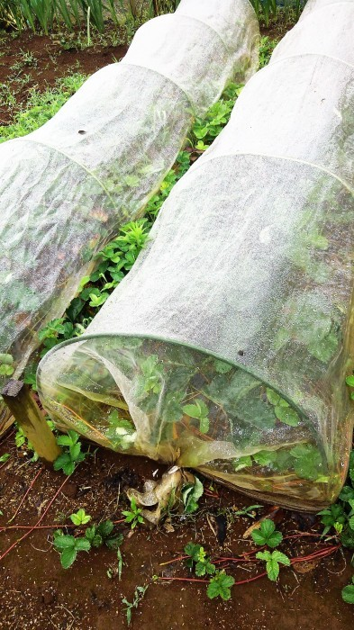 ■Myファーム便り【梅雨に入り合間の作業になってますが 作物は皆元気に育っています♪】_b0033423_22550533.jpg
