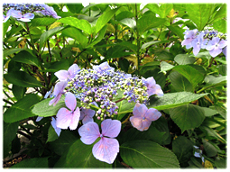 梅雨は植物の美しさが際立つとき_d0221430_15462736.jpg