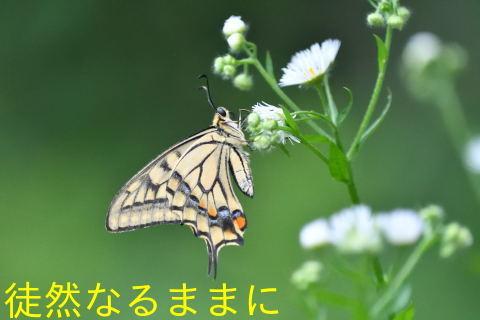 ヤマトシジミも夏型に衣替え_d0285540_18362062.jpg