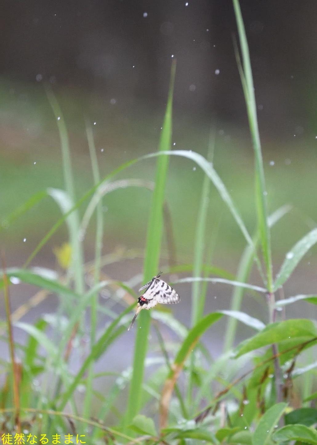 ホソオチョウ夏型・ムシャクロツバメシジミ_d0285540_19024352.jpg