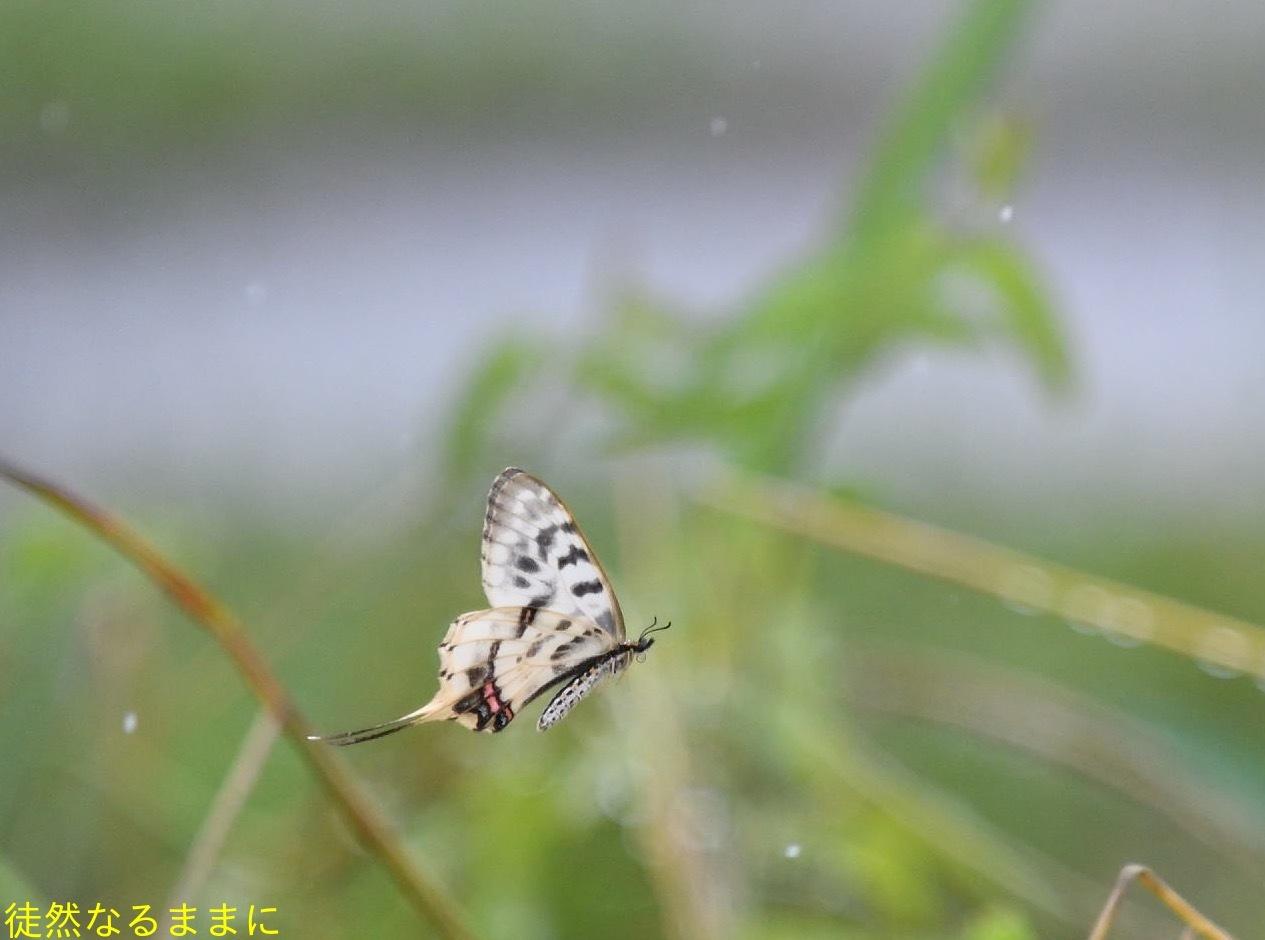ホソオチョウ夏型・ムシャクロツバメシジミ_d0285540_19032137.jpg
