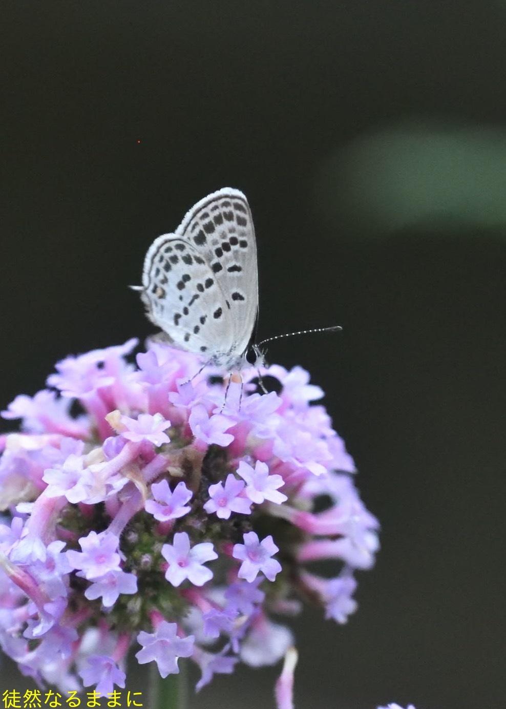 ホソオチョウ夏型・ムシャクロツバメシジミ_d0285540_19064663.jpg