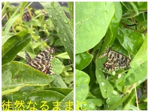 ホソオチョウ夏型・ムシャクロツバメシジミ_d0285540_19134008.jpg