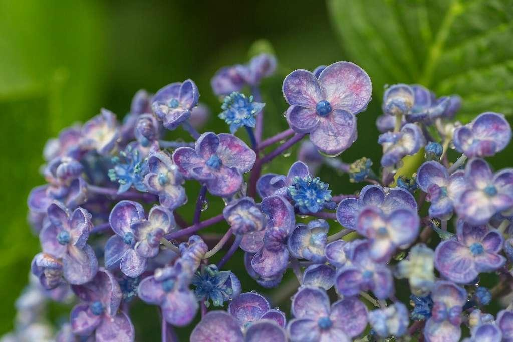 雨の日の紫陽花_f0044056_14292342.jpg