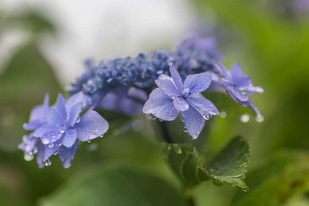 雨の日の紫陽花_f0044056_14294423.jpg