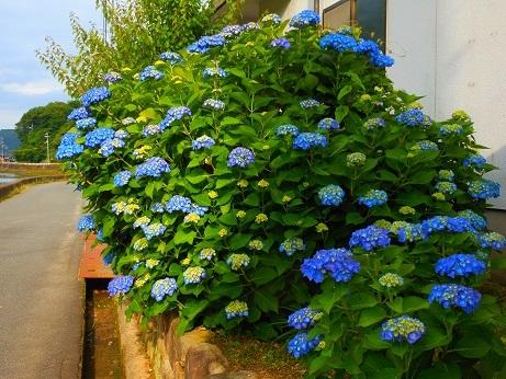 鮮やかなブルーのアジサイ_e0175370_20504007.jpg