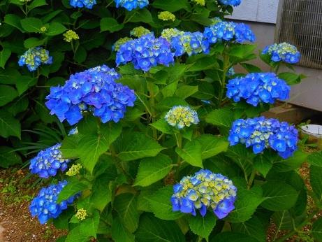 鮮やかなブルーのアジサイ_e0175370_20505652.jpg