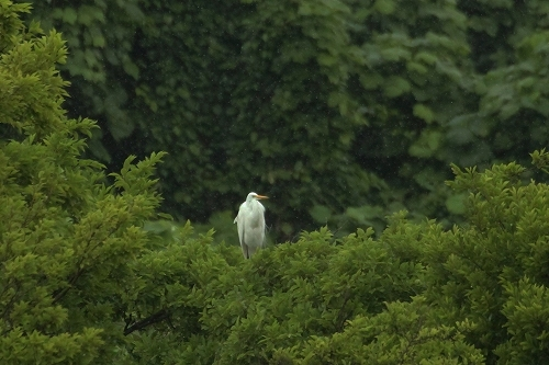 ★ヨシゴイとアマサギが飛来しています・・・先週末の鳥類園(2020.6.13~14)_e0046474_18362673.jpg