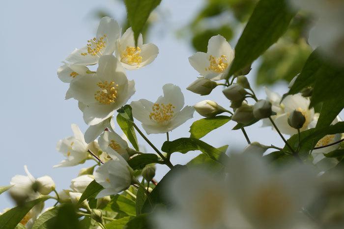白い花_d0162994_05441741.jpg