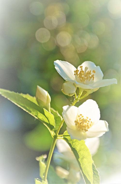 白い花_d0162994_05444078.jpg