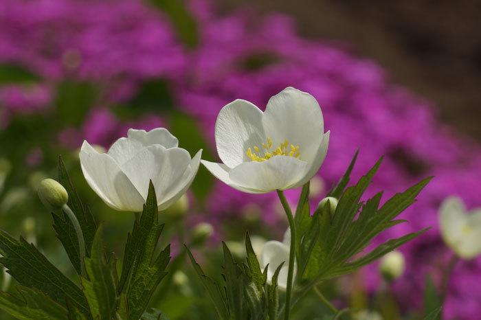 白い花_d0162994_05452091.jpg