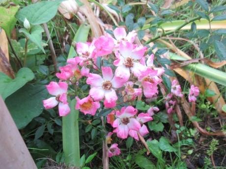 挿し木の紫陽花・ミニばらなど_a0203003_17390665.jpg