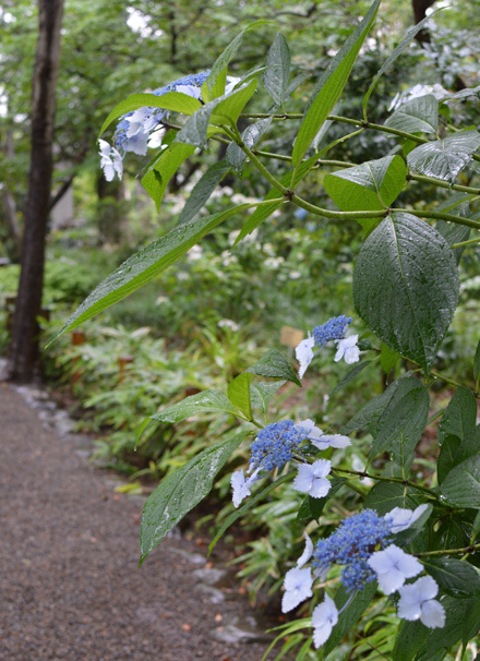 雨のあじさい散歩_b0183404_17173200.jpg