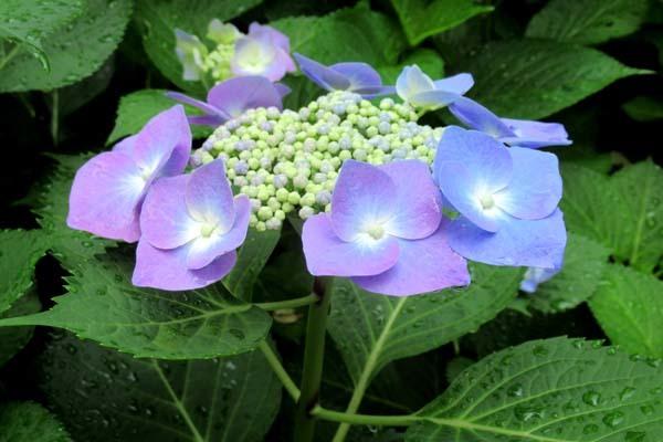あじさいが盛り 植物園_e0048413_20534933.jpg