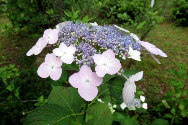 あじさいが盛り 植物園_e0048413_20535629.jpg