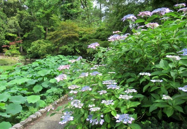 あじさいが盛り 植物園_e0048413_20540227.jpg