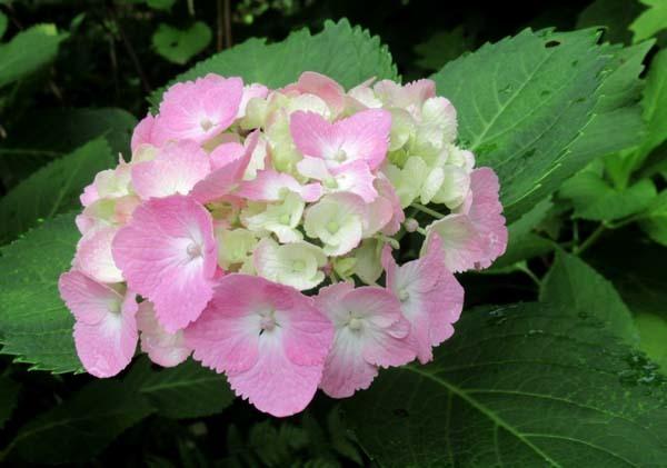 あじさいが盛り 植物園_e0048413_20540724.jpg