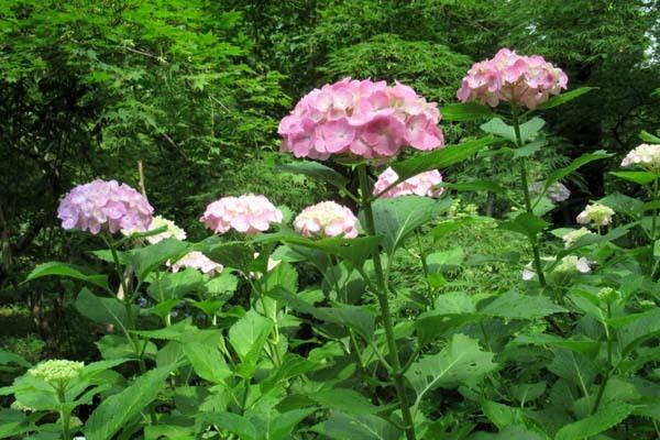 あじさいが盛り 植物園_e0048413_20541707.jpg