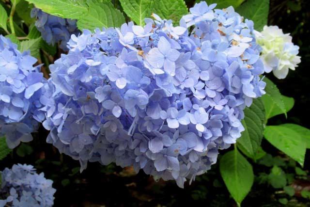 あじさいが盛り 植物園_e0048413_20543001.jpg