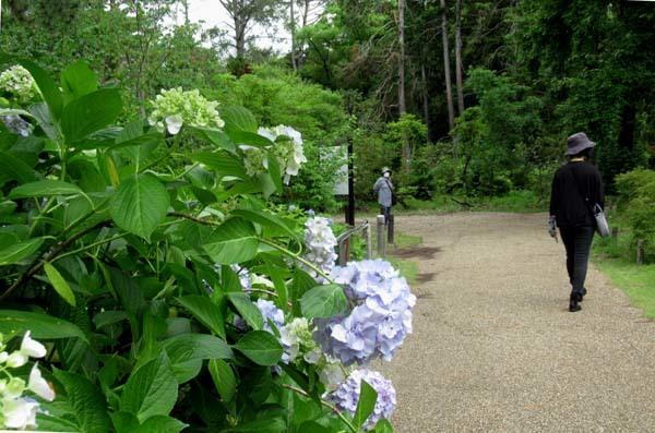 あじさいが盛り 植物園_e0048413_20544010.jpg