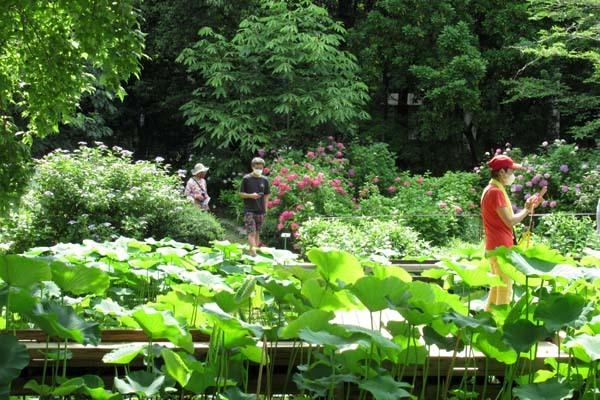 あじさいが盛り 植物園_e0048413_20563236.jpg