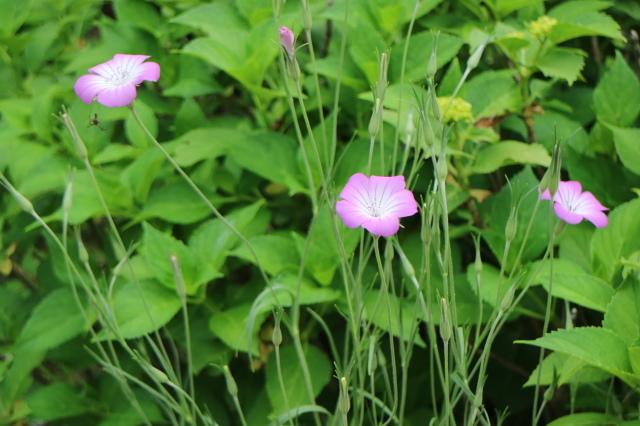 遅咲きのバラと宿根草~_e0397815_00294920.jpg