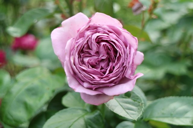 遅咲きのバラと宿根草~_e0397815_00300459.jpg