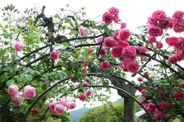 遅咲きのバラと宿根草~_e0397815_00392976.jpg