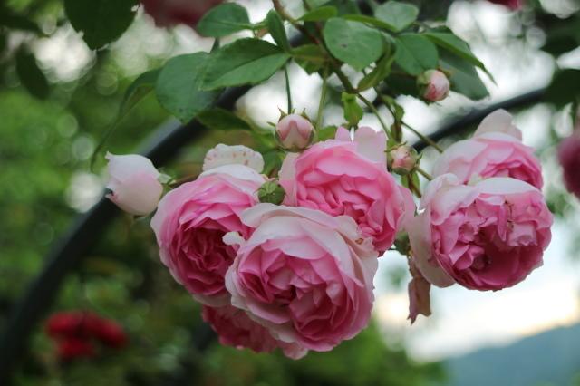 遅咲きのバラと宿根草~_e0397815_00393566.jpg