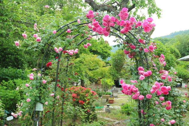 遅咲きのバラと宿根草~_e0397815_00395593.jpg