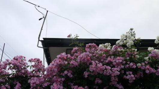 庭の薔薇をドライフラワーに・キャントルにします_a0123133_14222841.jpg
