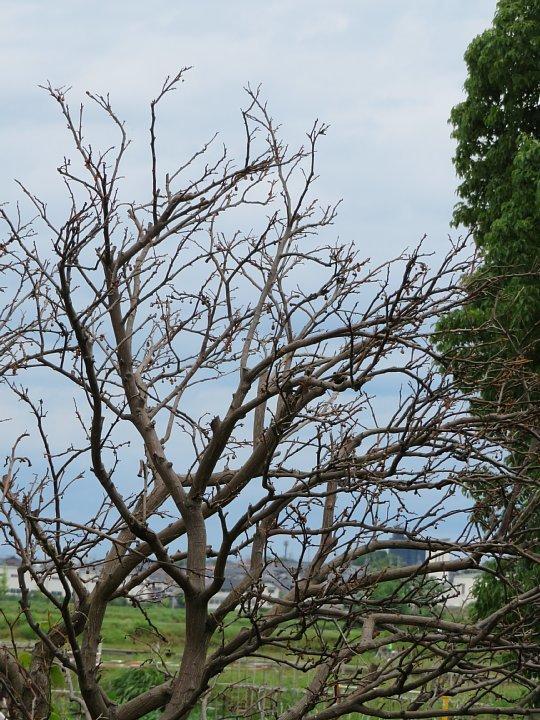 2020年6月25日 八朔の木が枯れました  !(^^)!_b0341140_17575137.jpg