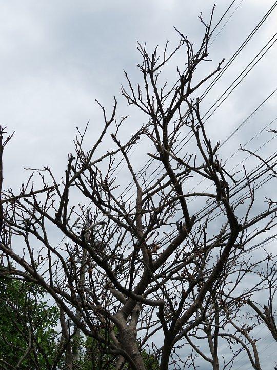 2020年6月25日 八朔の木が枯れました  !(^^)!_b0341140_17580360.jpg