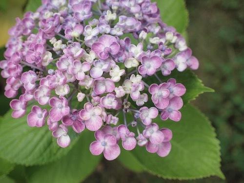 紫陽花とRain_a0335560_16103236.jpg