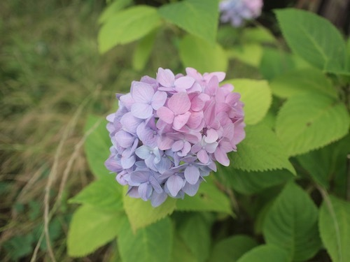 紫陽花とRain_a0335560_16103590.jpg