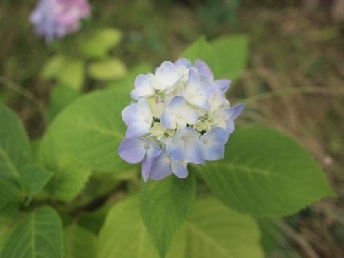 紫陽花とRain_a0335560_16103724.jpg