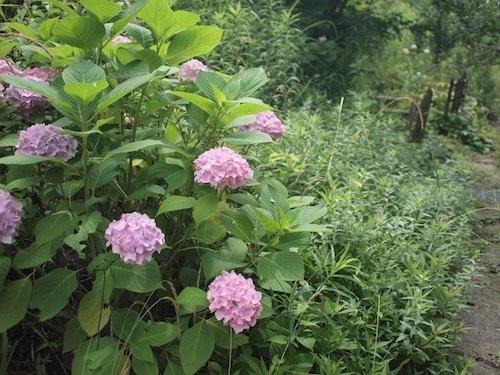 紫陽花とRain_a0335560_16104107.jpg