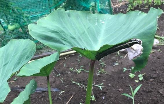 トマト、ナス、青唐辛子初収穫6・14_c0014967_05563364.jpg